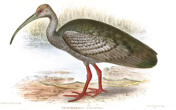 Illustration of giant ibis. By: Henrik Gronvold/1911.