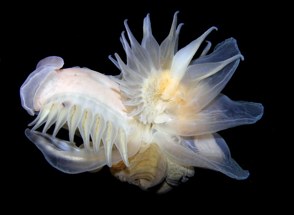 The extremely fragile parchment worm lives in a banana-shaped burrow in marine sediment, which is essentially an extension of its own body. Photo by: © Arthur Anker