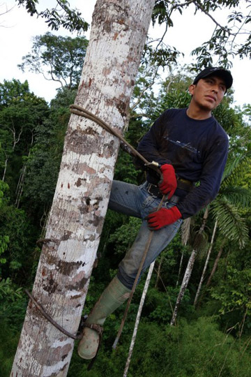 Carnegie botanist Felipe Sinca is high in an Amazonian tree canopy. Photo by Greg Asner.