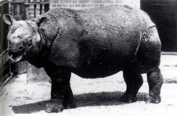 Javan rhino in the London Zoo during the 19th Century. No Javan rhinos are in captivity today. Photo by:  	T.Dixon/the Zoological Society of London.