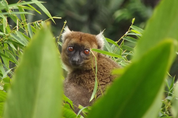 Greater bamboo lemur munching in Andrantantely. Photo by: Hery Randriahaingo.