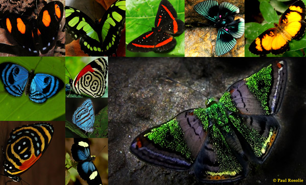 A Castillia metalmark, a few others from the incredible cast of over 1400 species of butterflies that make the west Amazon the world record holder for butterfly diversity. It is common to see dozens of species on the riversides together, flying in rainbow vortexes that can envelope you in color. Photos by: Paul Rosolie.