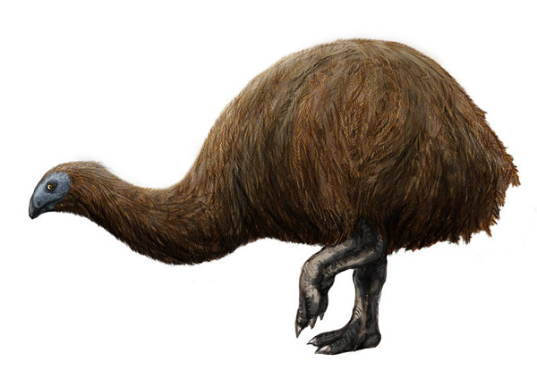 Artist's rendition of the coastal moa, which a new paper says was hunted to extinction, along with all of its relative, by humans. Image by: Michael B. H.