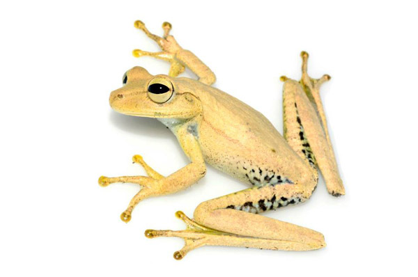 This tree frog, photographed at the Los Amigos Biological Field Station in southeastern Peru, was originally thought to be Gunther's tree frog, or Hypsiboas fasciatus. Today, scientists will need to review species sightings like this to identify which of the eleven new species it might be. Photo by: Patrick Campbell.