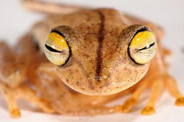 This new species, Almendariz's treefrog, inhabits cloud forests in the Amazon basin. Its habitat is threatened by deforestation and agriculture. Photo by.: Dr Santiago Ron.
