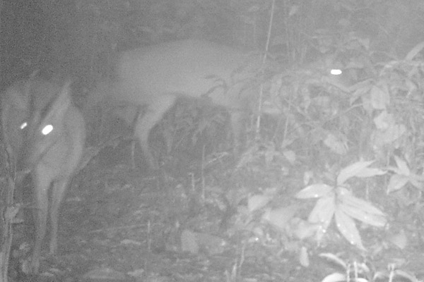 One of the first ever photos of Roosevelts' muntjacs. Photo taken by camera trap in Xuan Lien Nature Reserve. Photo by: Xuan Lien Nature Reserve and CRES, VNU.