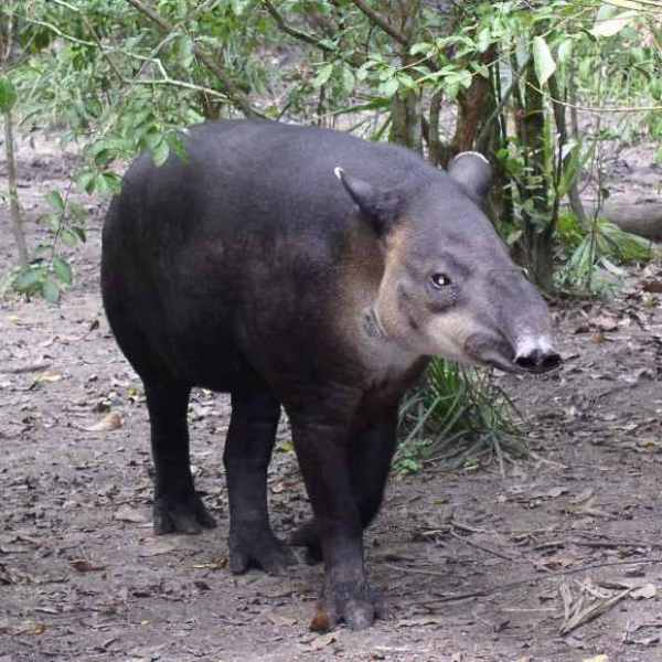 A Baird's tapir. Photo courtesy of Creative Commons 3.0
