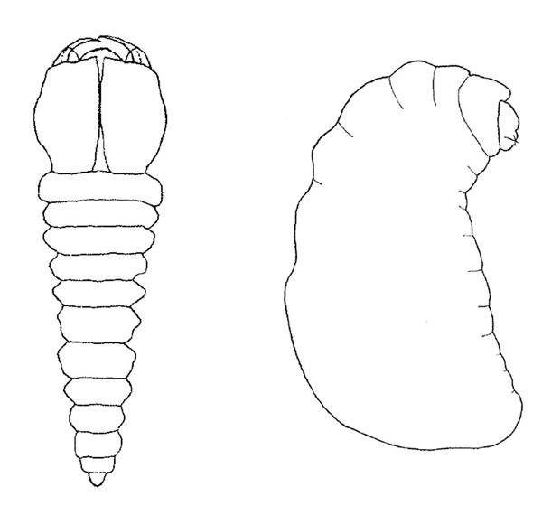 Like all insect larvae, immature trigonalids are unsightly to say the least. On the left we have a third instar larva of Bareogonalos jezoensis from Japan. This instar has huge mandibles for making short work of the prey. On the right is the final instar of the same species. The big mandibles have gone and instead we have a chubby beast with a tiny head. This species is a parasitoid of vespid wasps. Illustrations by: Seike Yamane, 1973.