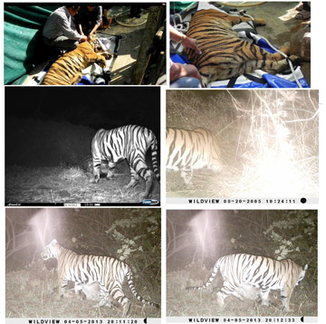 A compilation of camera trap images of female tiger, Kala, obtained over the year she was monitored. Photo compilation provided by Aditya Josh.