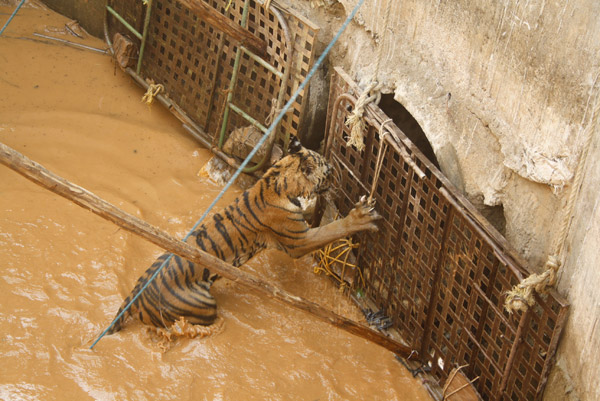 Kala, the tigress attempting to exit through blocked drain covers in the culvert in which she was trapped. Photo by: Roheet Karoo.