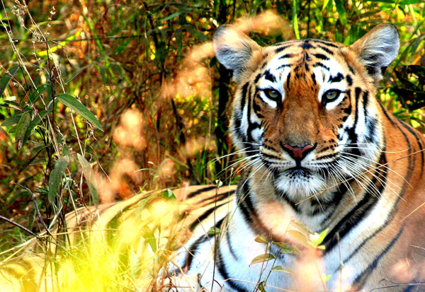 Tiger in Tadoba-Andhari Tiger Reserve in the state of Maharashtra. Photo by: Morgan Erickson-Davis.