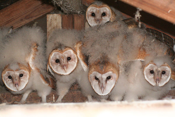 A brood of barn owls. Photo by: chdwckvnstrsslhmn.