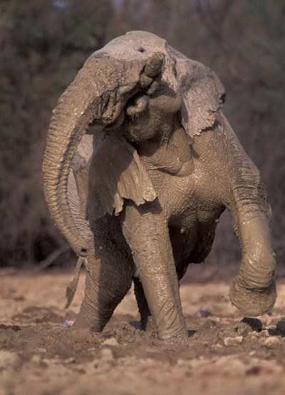 Mali's elephant love to wallow. It cools them down, protects them from the sun, and even guards against parasites. Photo by: Carlton Ward Jr.