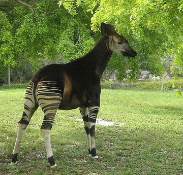 The DRC contains Africa's largest expanse of tropical forests, and is home to many species found nowhere else, including this okapi (<i>Okapia johnstoni</i>) and bonobos (<i>Pan paniscus</i>).