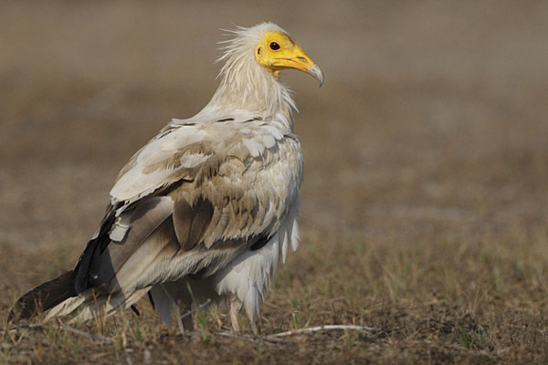 The yellow-visaged Egyptian vulture is number 30 on the list. Despite a massive range, from northern Africa to India, this species is listed as Endangered. Photo by: Rajiv Lather.