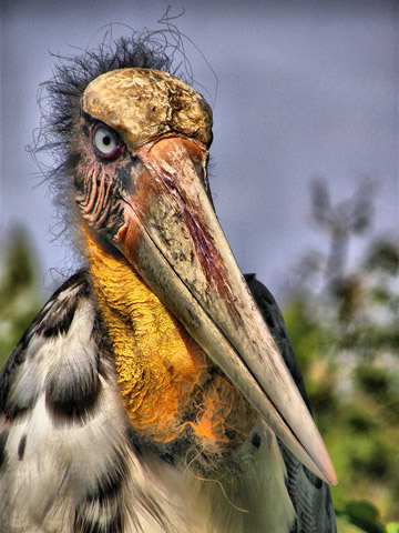 The greater adjutant, number 73 on the list, is found in Central and Southeast Asia. Only 800-1,200 are left due to loss of nesting wetlands. Photo by: Ben Fitzgerald.