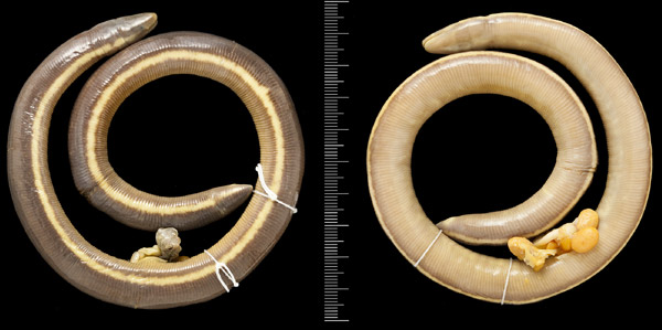 Preserved specimen of the colorful ichthyophis. Photo by: Harry Taylor (The Natural History Museum, London) from Wilkinson et al.