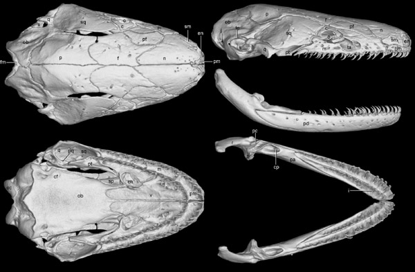 CT scan of the colorful ichthyophis' skull. Photo courtesy of Wilkinson et al.