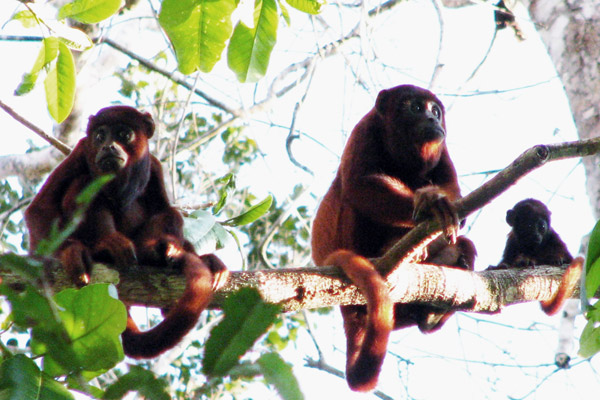Howler monkeys, commonly one of the first primates to be extirpated in hunted forests, photographed at Cocha Cashu Biological Station. Photo by: Varun Swamy.