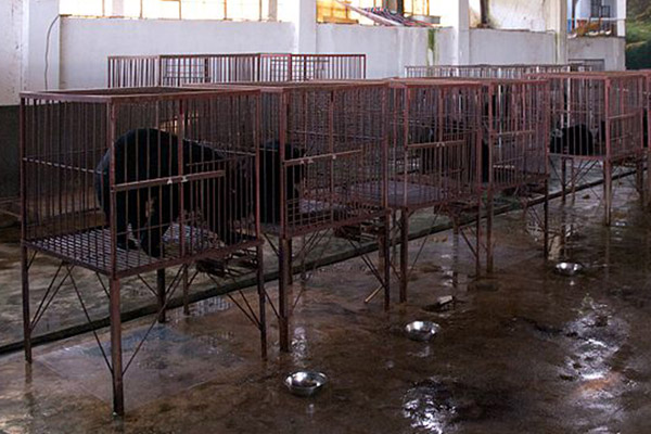 Sun bear bile extraction factory in Myanmar. Photo by: Dan Bennett.