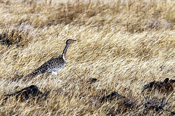 A distinct subspecies of the Houbara bustard in the Canary Islands. Photo by: Chmee2