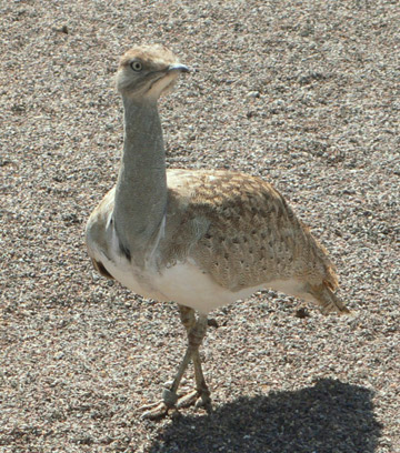 The Houbara bustard is listed as Vulnerable by the IUCN Red List with its population in decline. Photo by: Jimfbleak.
