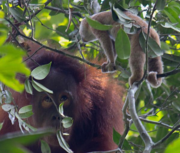 A young orangutan runs into a Philippine slow loris. Photo by: Helen Morrogh-Bernard.