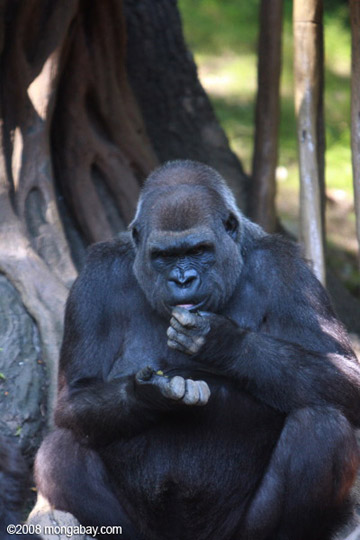 Western lowland gorilla (Gorilla gorilla gorilla) in captivity. This is the subspecies found in the Republic of the Congo. Photo by: Rhett A. Butler.