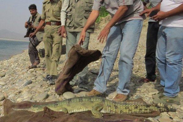 WTI team and forest department staff with a satellite tagged gharial near river Gandak. Photo: Neha Sharma/WTI.