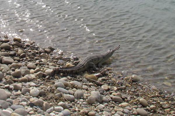 Satellite-tagged gharial released in River Gandak. Photo: Samir Kumar Sinha / WTI.