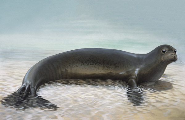 Illustration of extinct Caribbean monk seal. Illustration by: Peter Schouten.