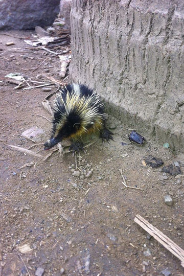 A lowland streaked Tenrec at the village of Ambalohosy Sud where the team collected compost for reforestation. Photo by: Zach Fitzner.