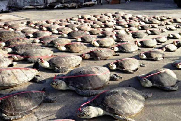 Dead sea turtles confiscated by the Philippine National Police (PNP). Photo by: PNP-SBU/PIA.
