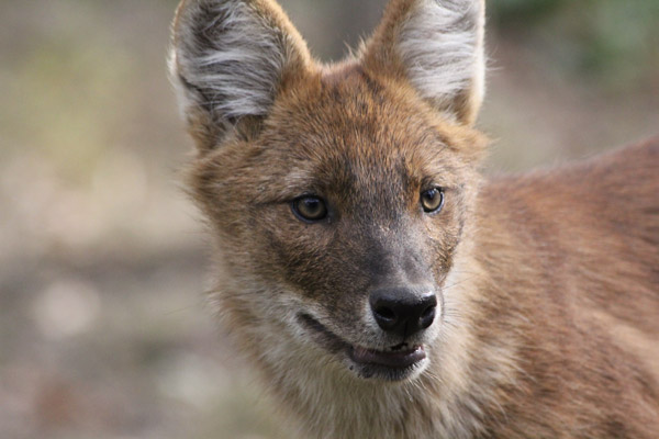 A dhole. The Minnesota Zoo, in partnership with the Smithsonian Conservation Biology Institute (SCBI), is studying and working with dhole populations in Thailand. Photo by: Tara Harris.