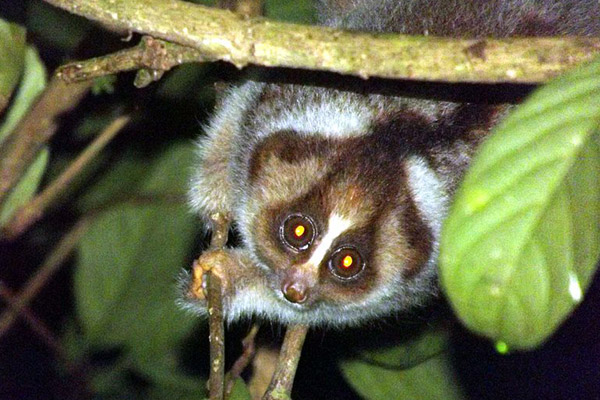 The recently described Kayan slow loris. Nekaris' Little Fireface Project works to save the world's loris species. The researcher was also one of the scientists who identified this new slow loris species as distinct from others.