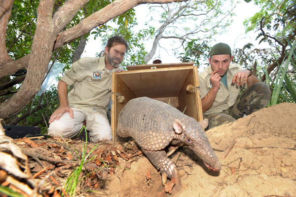 Arnaud Desbiez (left) releases a giant armadillo after the animal has been examined and tagged with a tracking device. Most of the funding for Desbiez's work comes from zoos. Photo courtesy of the Pantanal Giant Armadillo Project.