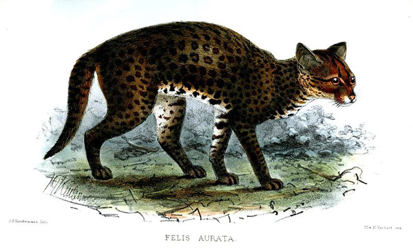 Illustration of the African golden cat. Image by: John Gerrard Keulemans.