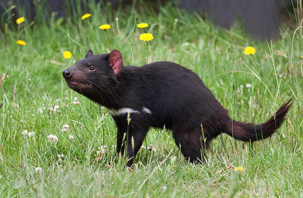 The Tasmanian devil is found in the forests in question. This species is currently listed as Endangered by the IUCN Red List. Photo by: JJ Harrison.