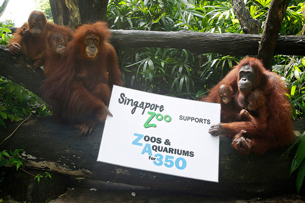 The destruction of rainforests in Malaysia and Indonesia for palm oil, paper, and timber has put the world's orangutans at risk of extinction, it also compounds global warming and mass extinction. Photo by: Singapore Zoo.