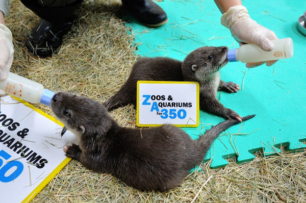 Baby Eurasian otters for 350. Photo by: Taipei Zoo.