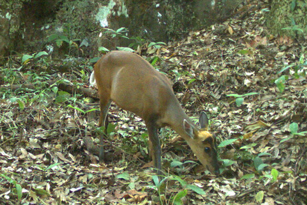 A red muntjac (Muntiacus muntjak) in the morning. This species is Least Concern. Photo by: Habitat ID.