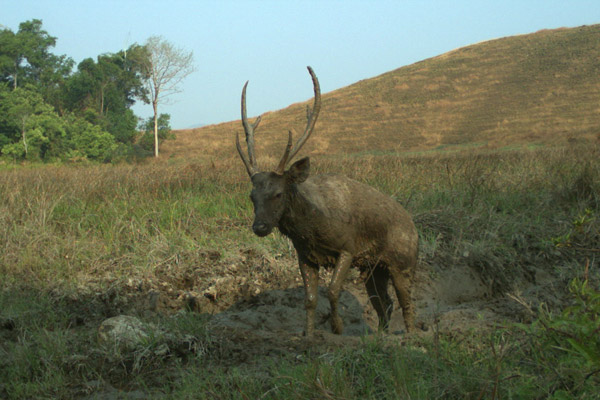 A majestic sambar deer takes a morning mud bath. An important prey species for tiger, the sambar deer is listed as Vulnerable. Photo by: Habitat ID.