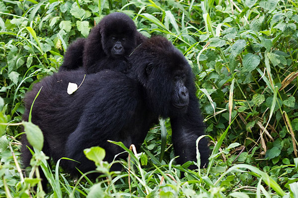 Mountain gorillas in Virunga National Park. Photo by: Cai Tjeenk Willink