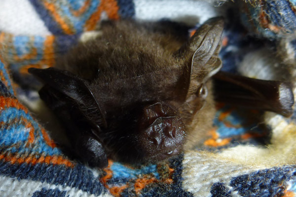 Another view of the female New Guinea big-eared bat. Photo by: Julie Broken-Brow.