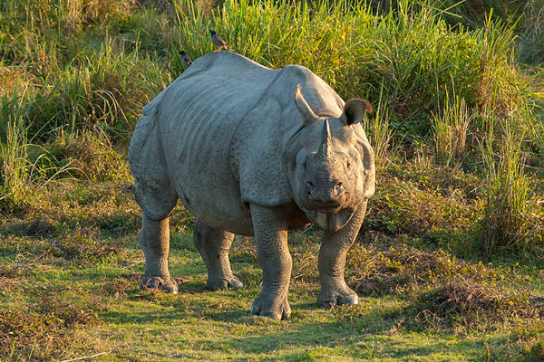 Despite a poaching crisis, Indian rhino population are on the rise. Photo by: Yathin S. Krishnappa.