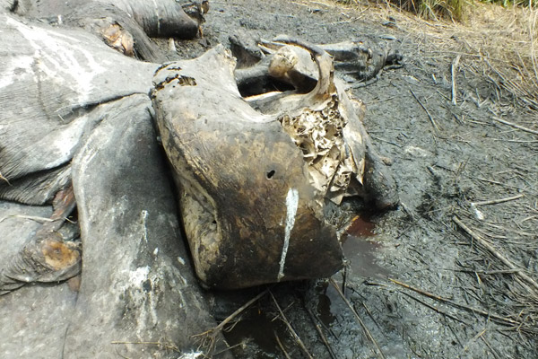 Poached elephant skull shows bullet hole from above, likely from a helicopter. The elephant's face was cut off by a chainsaw to remove the tusks. In addition, its brain was taken. Photo by: African Parks.