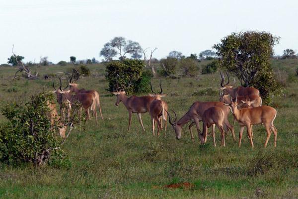 Hirola herd in Tsavo East. Photo by: James Probert.