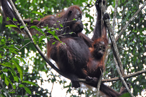 Orangutan family in the Kinabatangan landscape. Photo by: Dzulirwan bin Takasi/HUTAN.