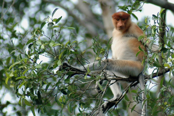 Proboscis monkeys are vanishing from the Kinabatangan and other parts of Borneo. Photo by: Marc Ancrenaz/HUTAN.