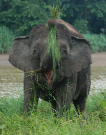 Bornean elephant trumpeting. Photo by: Marc Ancrenaz/HUTAN.